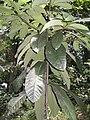 Dyera costulata - feuilles.JPG
