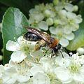 Early mining bee (Andrena haemorrhoa), Sandy, Bedfordshire (9077588135).jpg