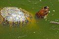 Eastern Box Turtle (Terrapene carolina carolina) (9183981515).jpg
