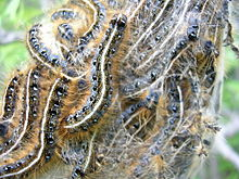 Tent after hatching. Tent caterpillars ... & Eastern tent caterpillar - Wikipedia