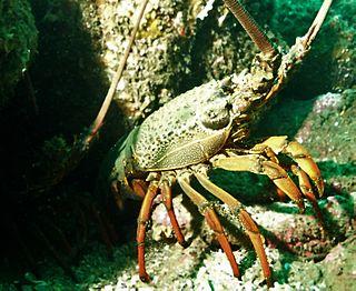 <i>Sagmariasus</i> species of crustacean