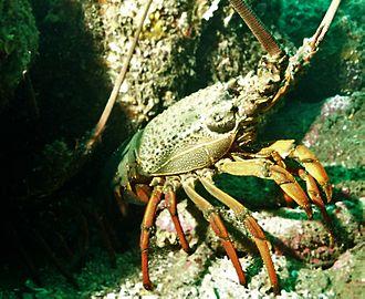 Sagmariasus - Image: Eastern rock lobster