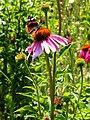 Echinacea (Poltava Botanical garden).jpg