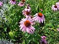 Echinacea Flowers.jpg