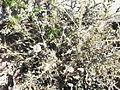 Echinops echinatus-roadside-jodhpur-India.JPG