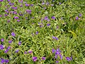 Echium plantagineum (Santa Cruz) 03 ies.jpg