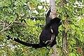 Ecuadorian mantled howler (Alouatta palliata aequatorialis) adult with juvenile.jpg