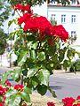 Eilenburg Nordring Rose2.jpg