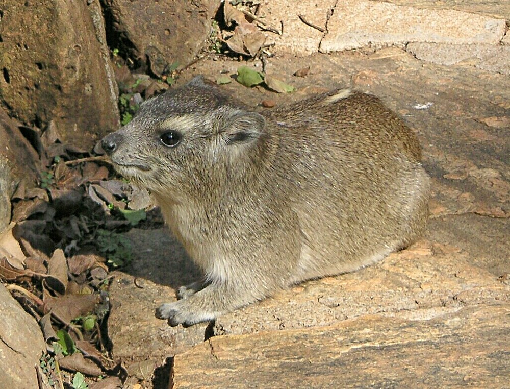 The average litter size of a Yellow-spotted rock hyrax is 1