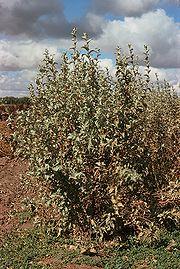 Elaeagnus commutata USDA