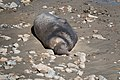 Elephant Seal (young male) Chimney Rock Pt Reyes Marin CA 2019-03-11 11-28-13 (48265046861).jpg