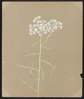 Emma Roberts (artist) - Image: Emma Roberts Anaphalis margaritacea, Benth. & Hook