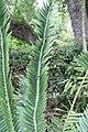 Encephalartos pterogonus 2zz.jpg