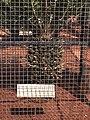 Encephalartos woodii (en cage).jpg