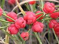 Ephedra distachya (cones) 2011 1.jpg