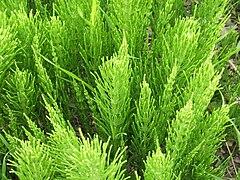 Equisetum arvense foliage.jpg