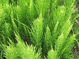 Equisetum arvense - Photosynthetic summer foliage