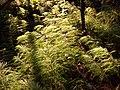 Equisetum sylvaticum sl1.jpg