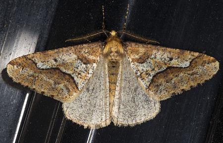 Erannis defoliaria, Lodz(Poland)01(js).jpg