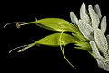 Eremophila subfloccosa subsp. lanata - Flickr - Kevin Thiele.jpg
