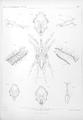 Ergebnisse der Plankton-Expedition der Humboldt-Stiftung (2Gaβ) Tafel II.png