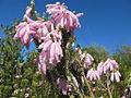 Erica at Kirstenbosch, Cape Town, South Africa (4827310023).jpg