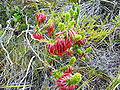 Erica coccineaTable Mountain Feb 09.JPG