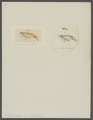 Erichthus vitreus - - Print - Iconographia Zoologica - Special Collections University of Amsterdam - UBAINV0274 097 14 0004.tif