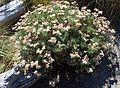 Eriogonum arborescens kz7.jpg