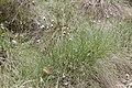 Eriophorum vaginatum kz05.jpg
