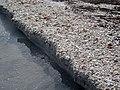 Erosional beach scarp (Cayo Costa Island, Florida, USA) 4 (24327726605).jpg