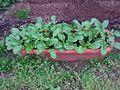 Eruca vesicaria Rocket Herb.jpg