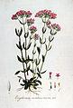 Erythraea centaurium — Flora Batava — Volume v7.jpg