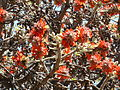 Erythrina latissima, blomme en peule, a, Pretoria.jpg