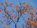 Erythrina poeppigiana (14425784311).jpg