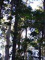 Eucaliptos do horto 2.jpg