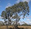 Eucalyptus coolabah trees.jpg