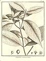 Eugenia sinemariensis Aublet 1775 pl 198.jpg