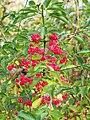 Euonymus europaeus Trzmielina pospolita 2020-10-25 02.jpg