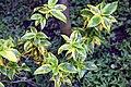 Euonymus fortunei 5zz.jpg