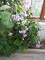 Eupatorium atrorubens (Compositae) plant.jpg