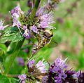 Eupeodes sp.(luniger^) - Flickr - gailhampshire.jpg