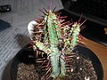 Euphorbia Pentagona 1.jpg