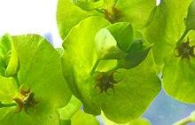 external image 220px-Euphorbia_amygdaloides_ENBLA03.jpeg