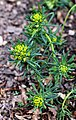 Euphorbia cyparissias Prague 2012 1.jpg
