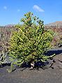 Euphorbia mayurnathanii 003.JPG