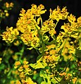 Euphorbia palustris Prague 2014 1.jpg