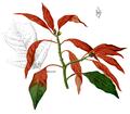 Euphorbia pulcherrima Blanco1.167b2.png