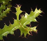 Euphorbia wakefieldii