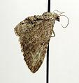 Eupithecia millefoliata.jpg